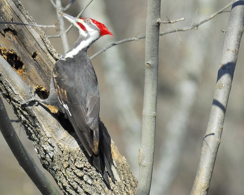 pileated woodpecker BRD1977.JPG