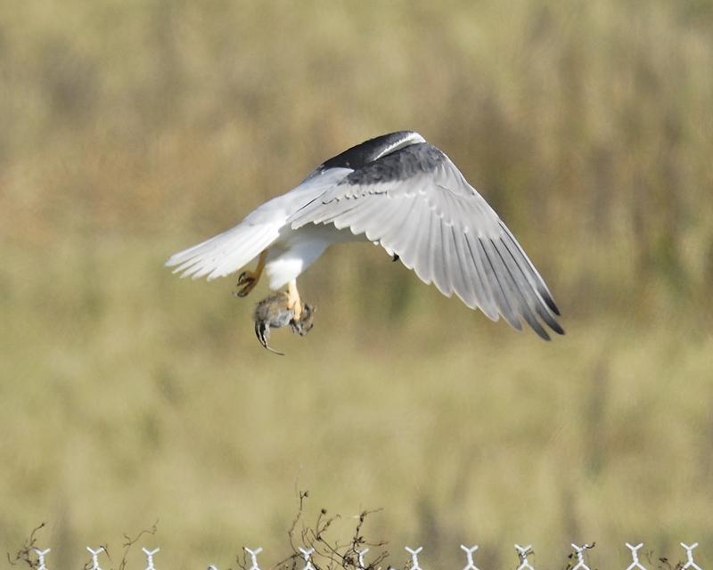 white-tailed kite BRD2217.JPG