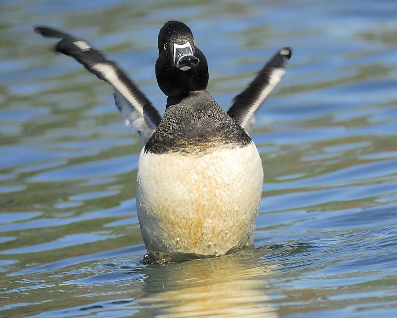 ring-necked duck BRD2297.JPG