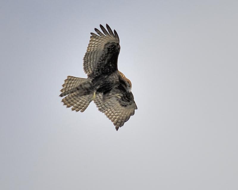 red-tailed hawk BRD2502.JPG