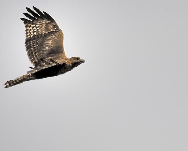red-tailed hawk BRD2508.JPG