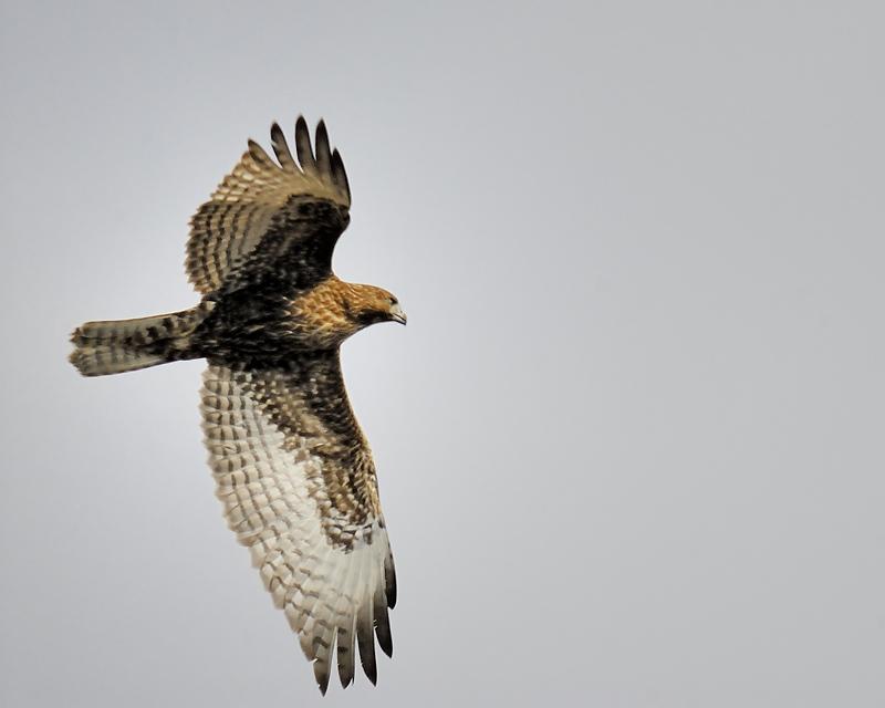 red-tailed hawk BRD2552.JPG