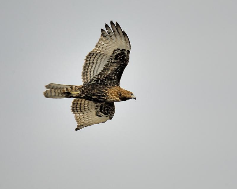 red-tailed hawk BRD2540.JPG