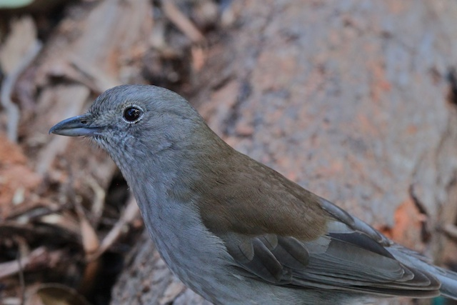Grey Shrike Thrush 1