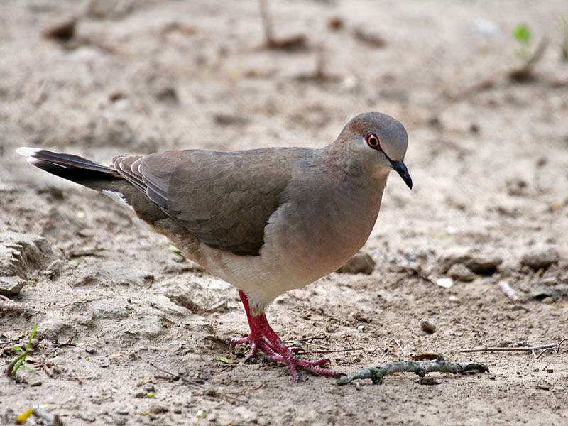 IMG_1238 White-tipped Dove.jpg