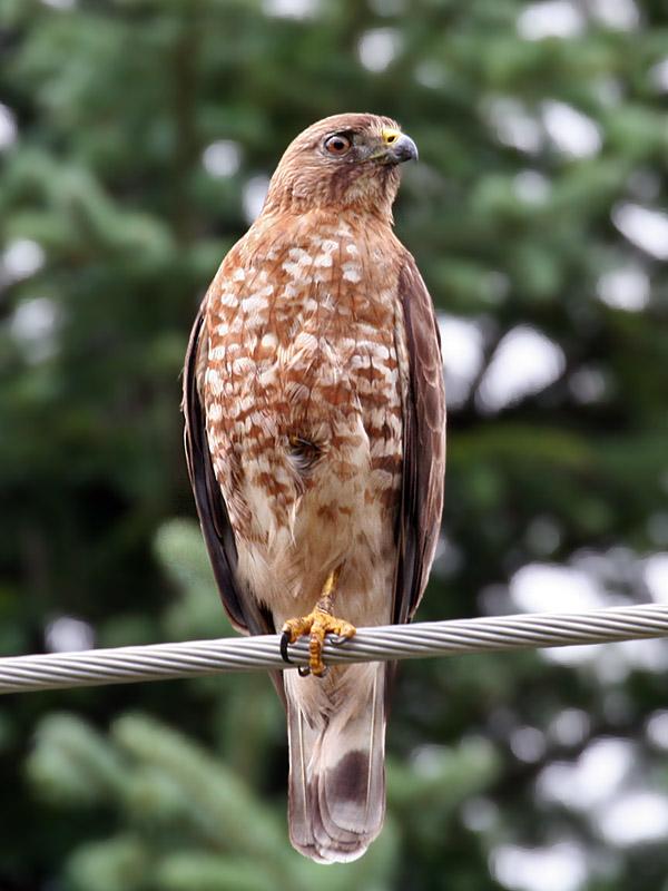 IMG_8802 Broad-winged Hawk.jpg