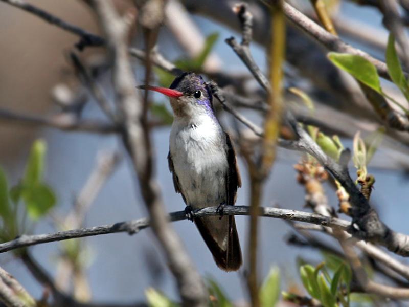 IMG_8242 Violet-crowned Hummingbird.jpg