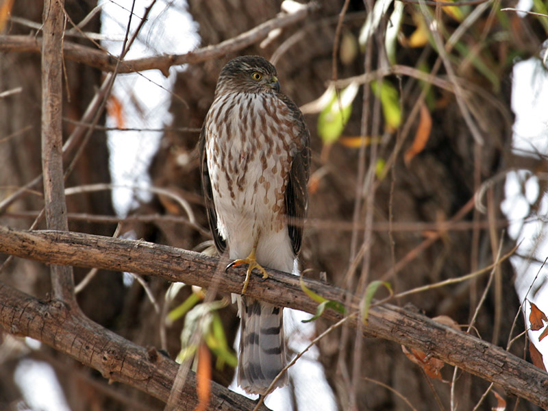 IMG_5457 Sharp-shinned Hawk.jpg