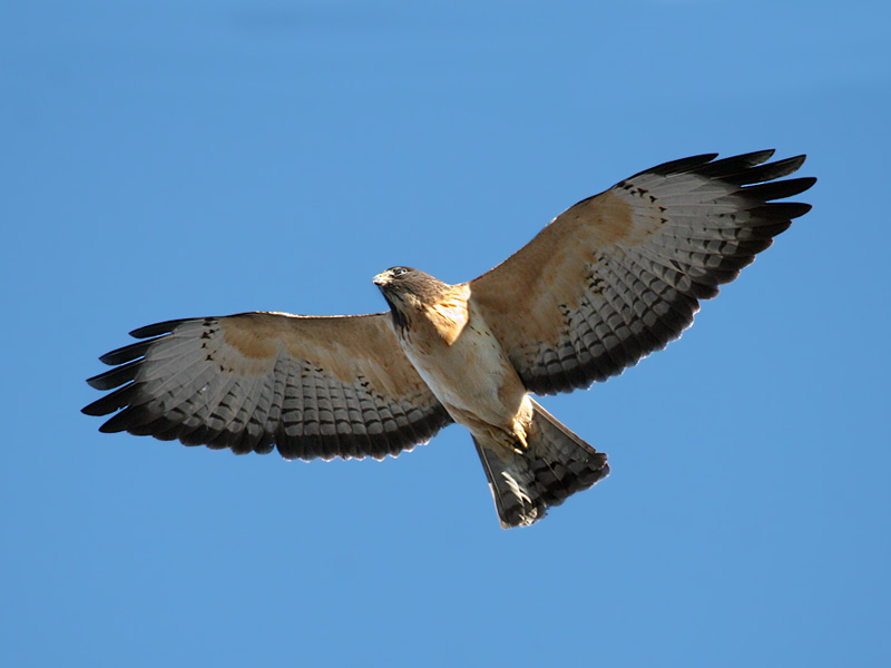IMG_9394 Short-tailed Hawk.jpg