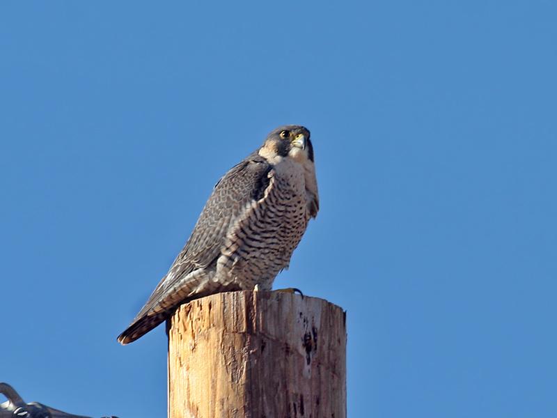 IMG_0434 Peregrine Falcon.jpg