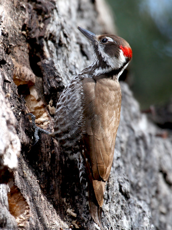 IMG_0383 Arizona Woodpecker.jpg