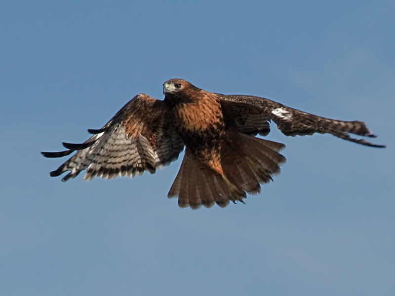 IMG_8301a Red-tailed Hawk.jpg
