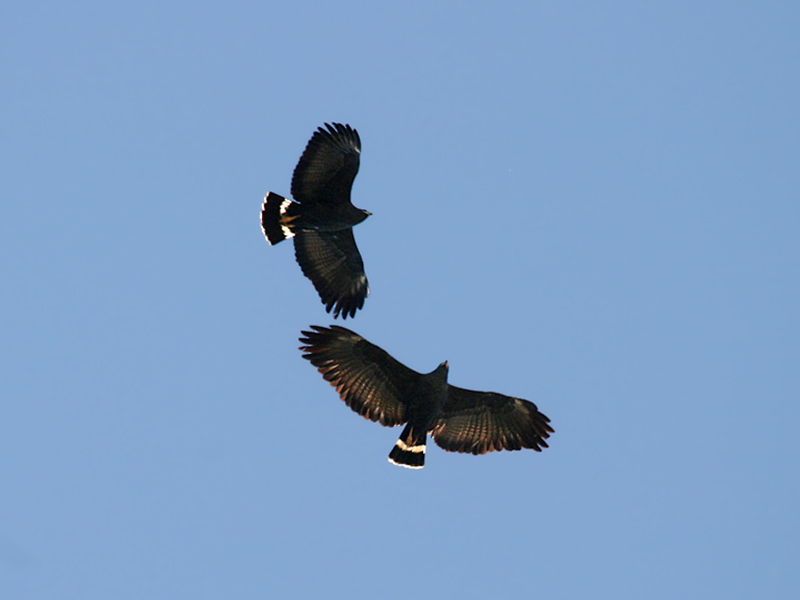 IMG_1372a Common Black Hawk.jpg