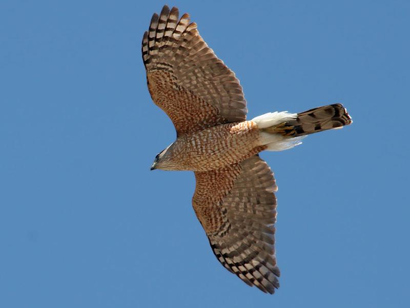 IMG_1492a Coopers Hawk.jpg
