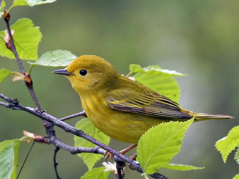 IMG_6972a Yellow Warbler.jpg