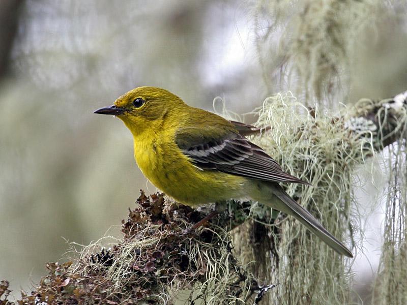 IMG_8955 Pine Warbler.jpg