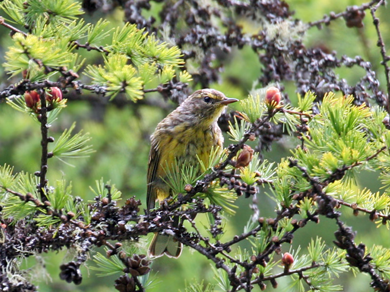 IMG_1530a  Palm Warbler fledgling.jpg