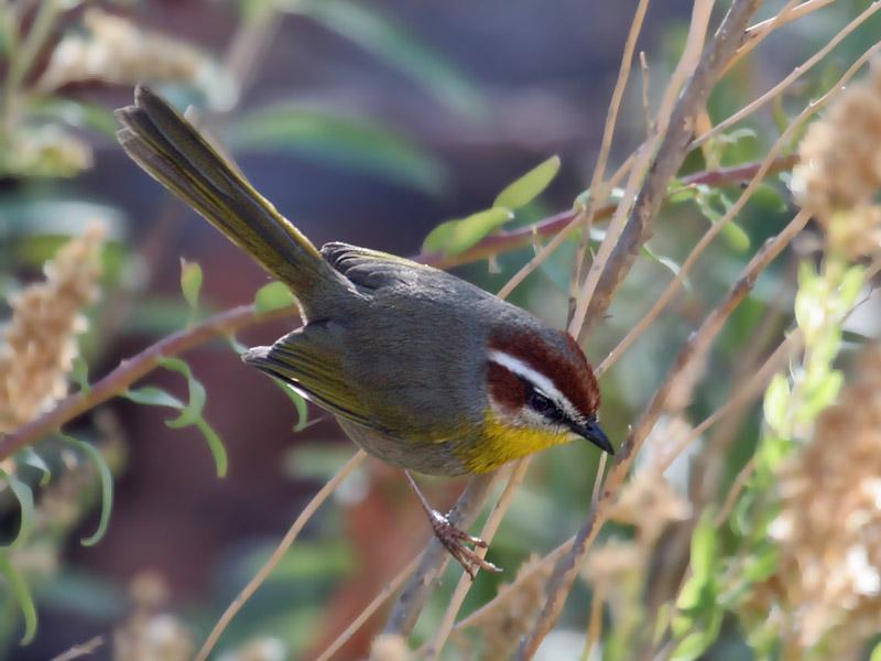 IMG_4988a Rufous-capped Warbler.jpg