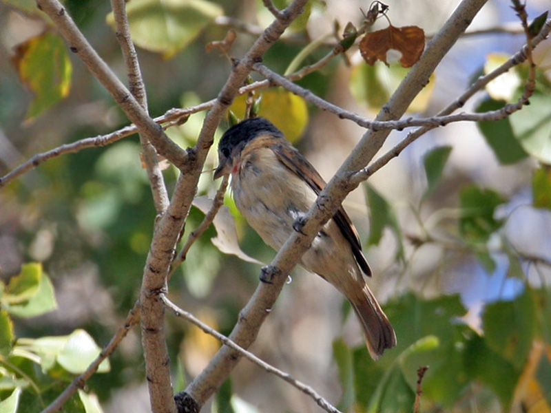 IMG_5266a Rose-throated Becard.jpg