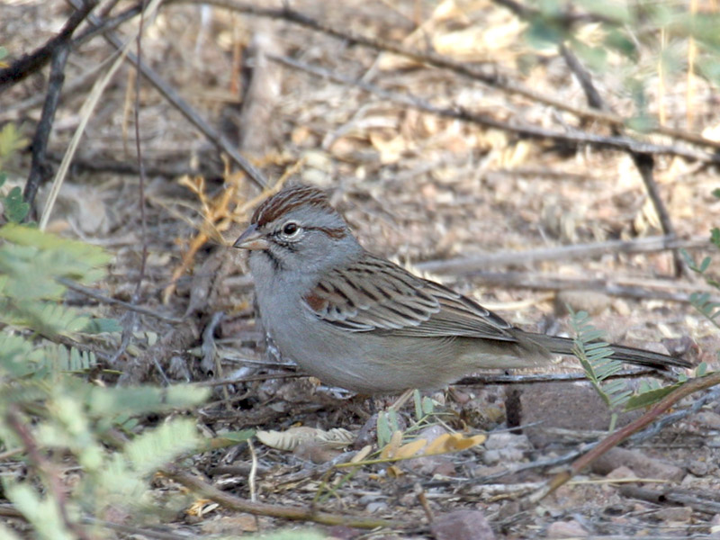 IMG_5411a Rufous-winged Sparrow.jpg