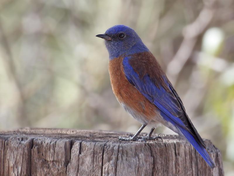 IMG_8048 Western Bluebird.jpg