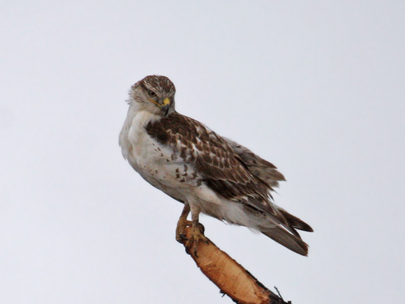 IMG_0653 Ferruginous Hawk.jpg