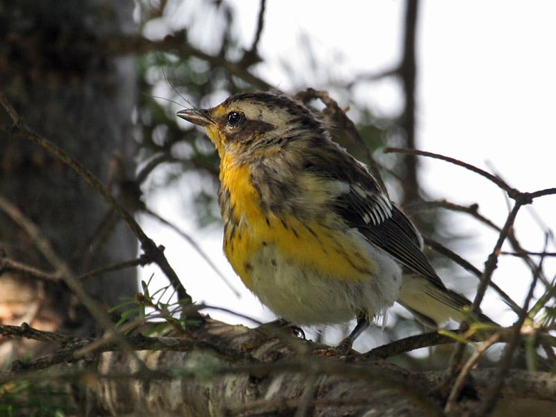 IMG_3467 Blackburnian Warbler fledgling.jpg