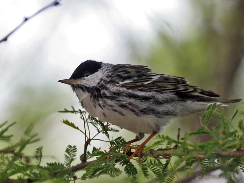 IMG_6405 Blackpoll Warbler.jpg