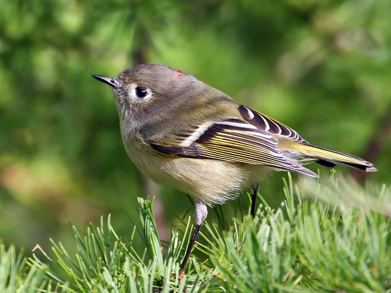 IMG_8788 Ruby-crowned Kinglet.jpg