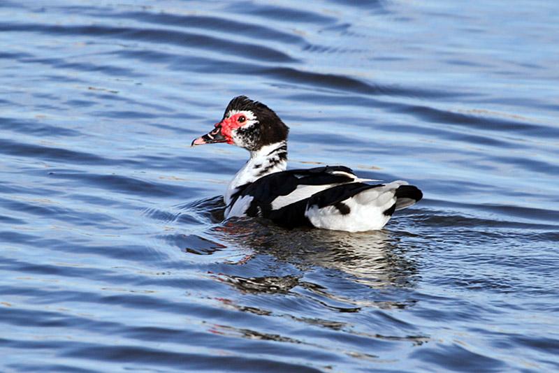 IMG_0052 Muscovy Duck.jpg