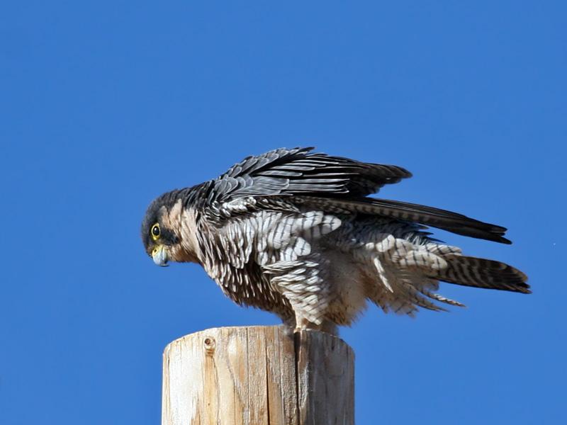 IMG_1570a Peregrine Falcon.jpg