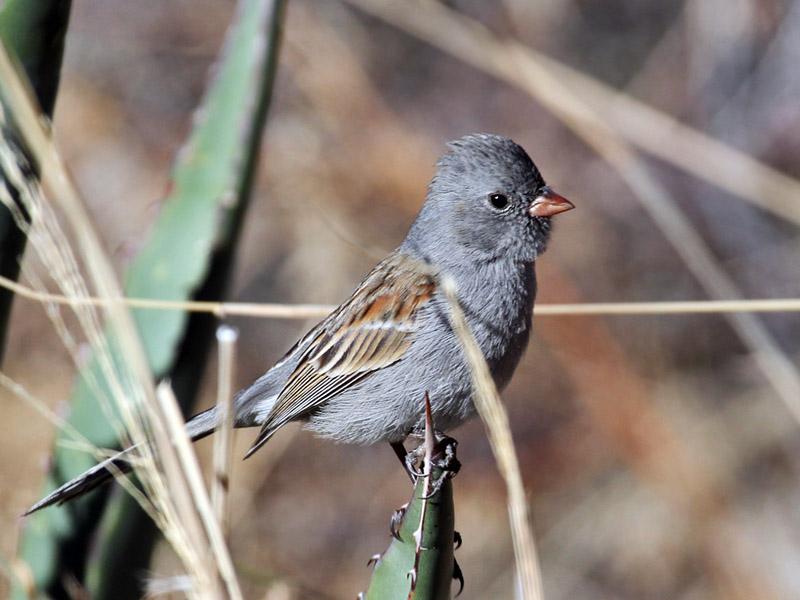 IMG_3632 Black-chinned Sparrow.jpg