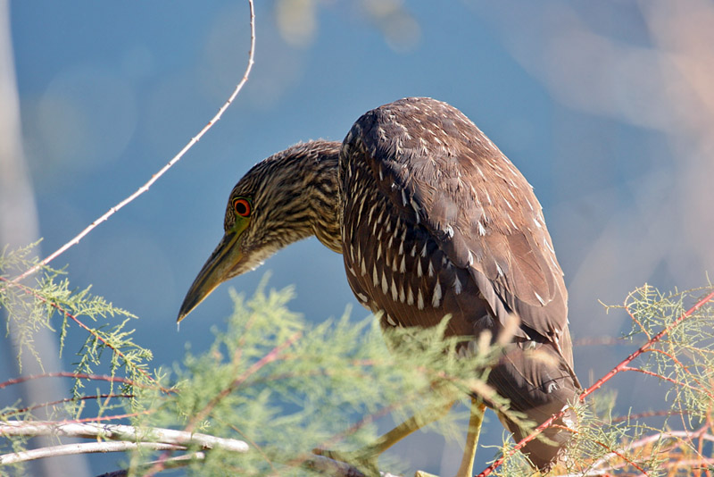 IMG_3599 Black-crowned Night Heron.jpg