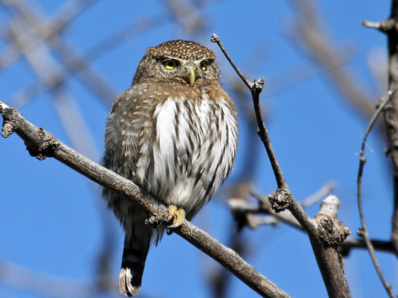IMG_2969a Northern Pygmy Owl.jpg