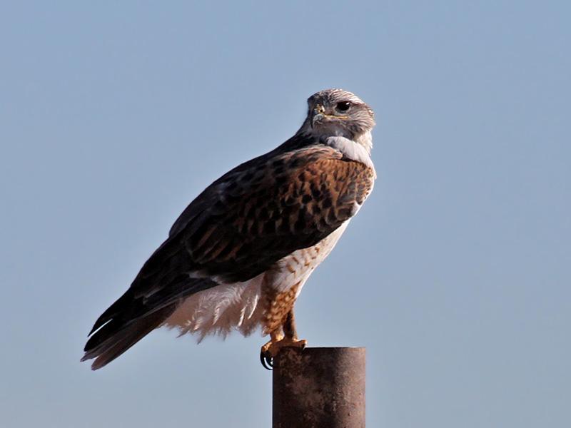 IMG_4013a Feruginous Hawk.jpg