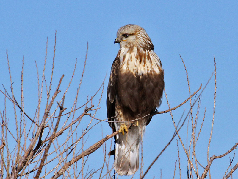 IMG_4936 Rough-legged Hawk.jpg
