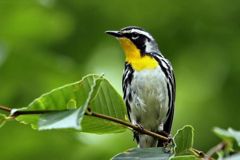 IMG_5197 Yellow-throated Warbler.jpg