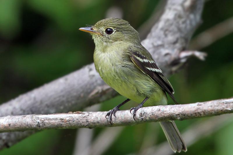 IMG_5811a Yellow-bellied Flycatcher.jpg