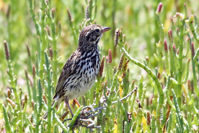 IMG_4018a Savannah Sparrow -  Beldings.jpg