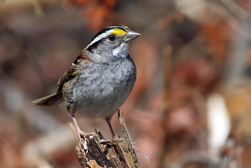 IMG_6288a White-throated Sparrow - white.jpg