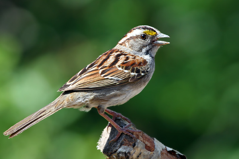 IMG_6289a White-throated Sparrow - tan.jpg