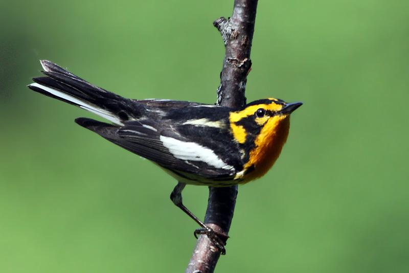 IMG_5299a Blackburnian Warbler male .jpg