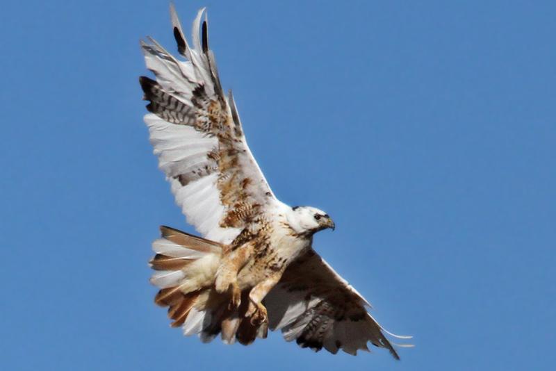 IMG_9544 Red-tailed Hawk leucistic.jpg