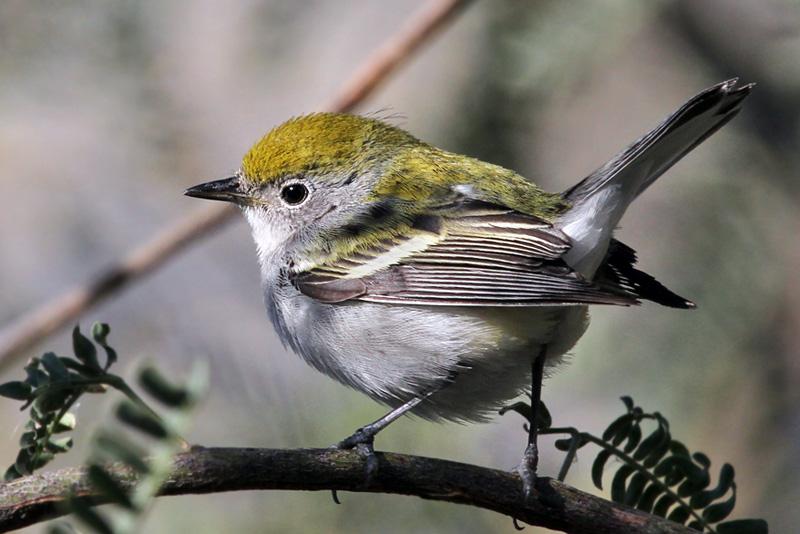 IMG_9008a Chestnut-sided Warbler female.jpg