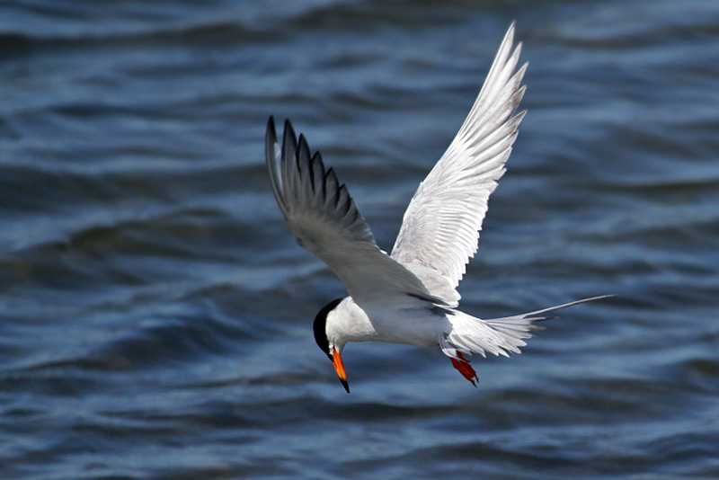 IMG_3725a Forsters Tern .jpg