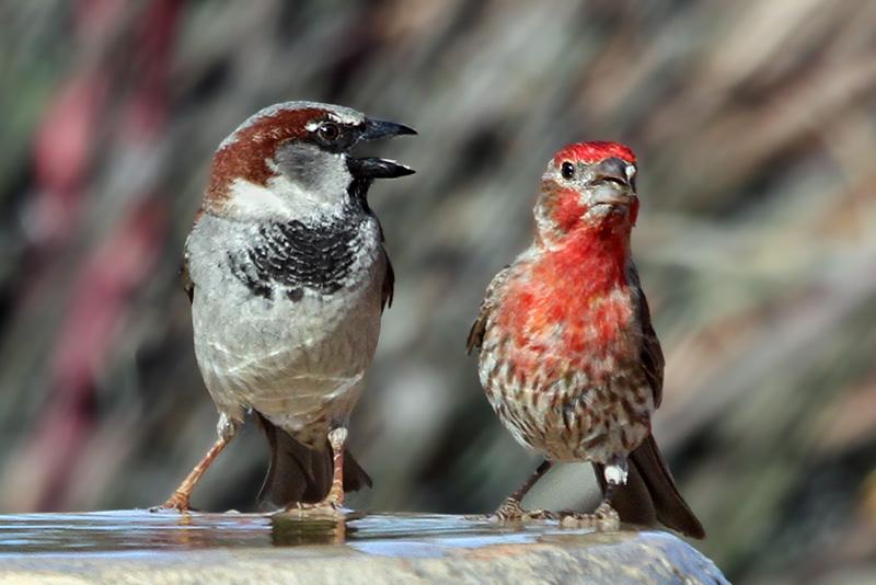 IMG_8953 Sparrow - Finch.jpg