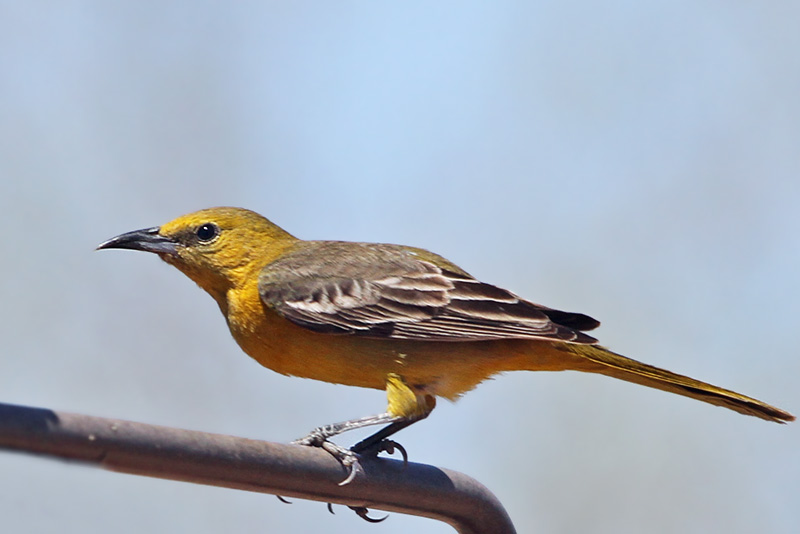 IMG_0263 Hooded Oriole female.jpg