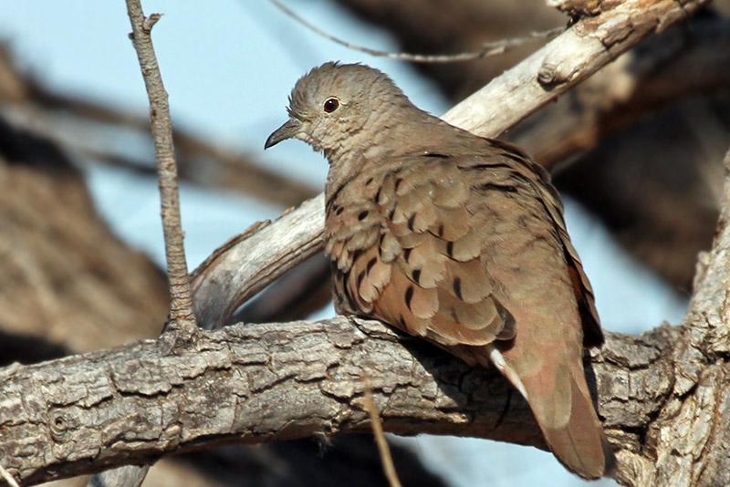 IMG_3231 Ruddy Ground Dove - female.jpg