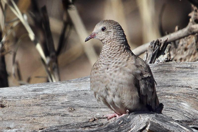 IMG_4047 Common Ground Dove - female.jpg