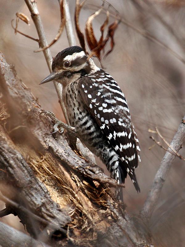 IMG_0268 Ladder-backed Woodpecker - female.jpg